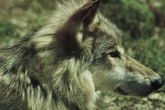 Timber Wolf Profile Stock Photo