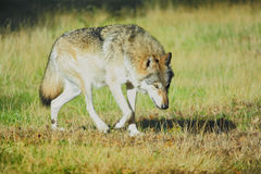 Timber wolf. On the prowl Royalty Free Stock Images