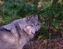 Timber Wolf Stock Photos