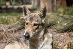 Timber wolf pup laying on the ground looking. At the camera Stock Images