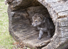Timber wolf pup. Young baby timber wolf or gray wolf pup, emerging from fallen, hollowed tree log Stock Image
