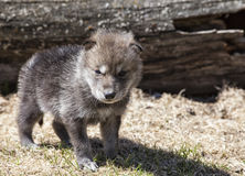Timber wolf pup. Young, baby timber wolf, or gray wolf. Springtime Royalty Free Stock Photo