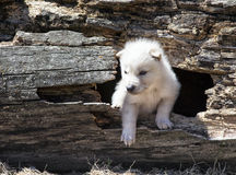 Timber wolf pup. Young, baby white timber wolf, or gray wolf. Springtime Royalty Free Stock Photos