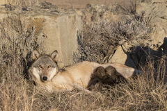 Timber wolf pups nursing on mother Royalty Free Stock Images