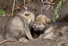 Timber wolf pups Stock Images