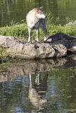 Timber wolf reflection in water Stock Photos