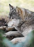 Timber Wolf Rests. Timber Wolf (Canis lupus) Rests - captive animal seen through pine tree branches (in foreground Royalty Free Stock Photos