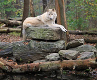 Timber wolf on a rock. Healthy timber wolf on the Throne Rock in the woods Royalty Free Stock Photo