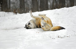 Timber Wolf Rolls in the Snow Royalty Free Stock Image