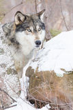 Timber wolf side portrait. By birch tree Stock Photography