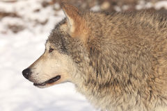 Timber wolf side portrait. In snow Stock Images
