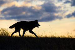 Timber wolf silhouette at sunset. In prairie Royalty Free Stock Images