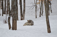 Timber Wolf Sleeping Royalty Free Stock Images