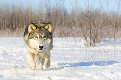 Timber wolf sneaking in for kill. In the snow Stock Photos
