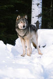 Timber wolf in the snow Stock Photo