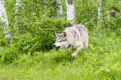 Timber wolf in springtime acting aggressive Stock Photography