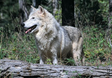 Timber wolf. Standing behind a fallen tree Royalty Free Stock Image