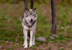 Timber wolf standing in forest Royalty Free Stock Photo