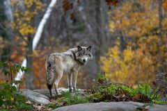 A lone Timber wolf or grey wolf (Canis lupus) standing on a rocky cliff looking back in autumn in Canada Stock Photo
