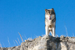 Timber wolf standing on rocky ledge Royalty Free Stock Image