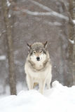 Timber wolf (Canis lupus) standing in a snow covered field. A lone Timber wolf or grey wolf (Canis lupus) standing in a snow covered field in Stock Images