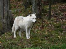 Timber wolf standing in the snow. Ontario Stock Photos