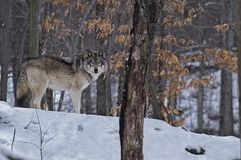 Timber Wolf standing in the snow among the trees. royalty free stock photos