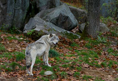 Timber wolf standing in the woods in autumn Stock Image