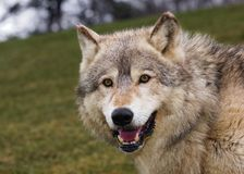 Timber Wolf Stare with Hill Royalty Free Stock Images