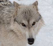 A Timber Wolf staring directly into my camera. A closeup of a Timber Wolf`s face as he stares directly into my camera stock image
