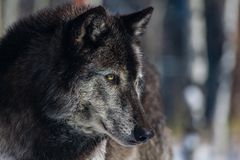 A Timber Wolf Staring in the Distance stock image