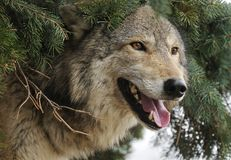 Timber Wolf Sticks Head out from under Pine Tree Royalty Free Stock Photo