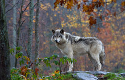 A Timber wolf (Canis lupus) on top of a rock looks back on an autumn day. A lone Timber wolf or grey wolf (Canis lupus) on a rocky cliff on a Stock Image