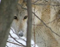 Timber wolf in trees. Timber wolf in winter peeking through the trees royalty free stock photo