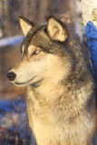 Timber wolf vertical portrait. During wintertime Royalty Free Stock Photo