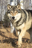 Timber wolf walking in forest Stock Images