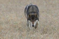 Timber wolf walking through grassland