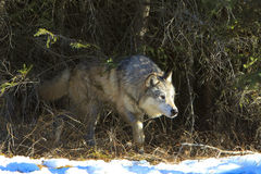 Timber Wolf Walking out of den in timbers Stock Photo