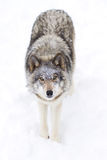 Timber wolf or grey wolf (Canis lupus) isolated against a white background walking in the winter snow in Canada royalty free stock photo