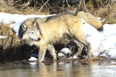 Timber wolf at watering hole Stock Image