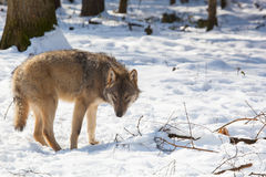 Timber wolf in winter forest Stock Images