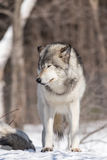 Timber wolf in a winter scene Stock Photography