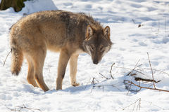 Timber wolf in winter Royalty Free Stock Image