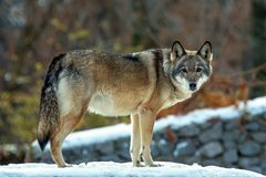 Timber wolf in winter time royalty free stock photos