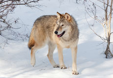 Timber Wolf in Winter. A young timber wolf walking through a wooded area covered in snow with afternoon shadows Stock Photography