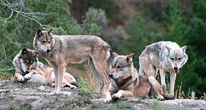 Timber Wolves. A pack of wolves in the forest royalty free stock images