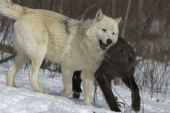 Timber wolves. Black wolf demonstrates submission to Alpha of the pack Stock Photos
