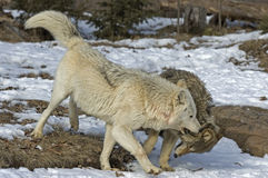 Timber wolves. Wolf pack interaction (white is alpha Royalty Free Stock Photos