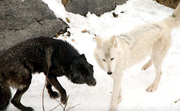 Timber Wolves. A white and a black timber wolf playing stock image