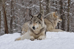 Free Timber Wolves Royalty Free Stock Images - 62979059